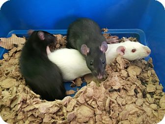 Rat for adoption in Cambridge, Ontario - Baby Rats
