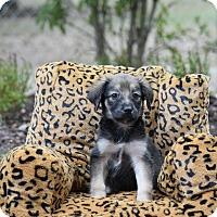 Adopt A Pet :: Miko - South Dennis, MA