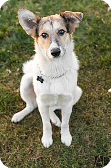 Collie/Border Collie Mix Dog for adoption in Saskatoon, Saskatchewan - Abe - Pending