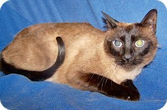 Siamese Cat for adoption in Colorado Springs, Colorado - Tula