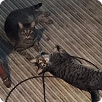 Adopt A Pet :: Julius ( high energy) - Sterling Hgts, MI