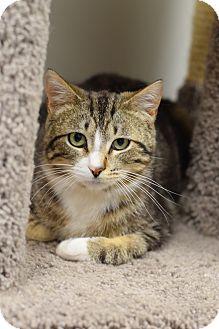 Domestic Shorthair Cat for adoption in Chaska, Minnesota - Elvis