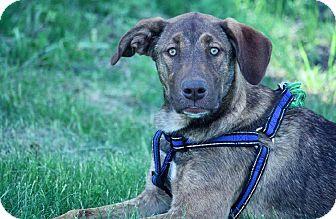 Labrador Retriever/Catahoula Leopard Dog Mix Dog for adoption in Regina, Saskatchewan - Loka