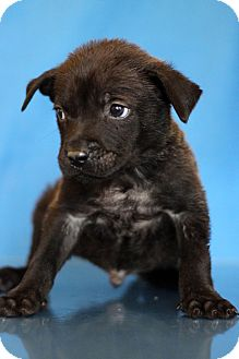 Labrador Retriever Mix Puppy for adoption in Waldorf, Maryland - Frost