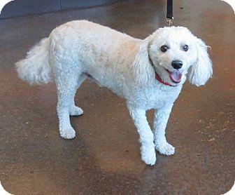 Poodle (Miniature)/Bichon Frise Mix Dog for adoption in Scottsdale, Arizona - Oscar