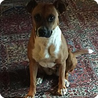 Boxer/Beagle Mix Dog for adoption in Providence, Rhode Island - Lucy