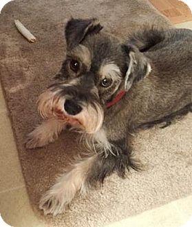 Miniature Schnauzer Dog for adoption in Castro Valley, California - Bonnie