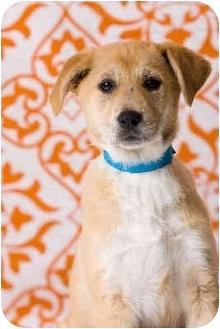 Border Collie/Labrador Retriever Mix Puppy for adoption in Portland, Oregon - Adele