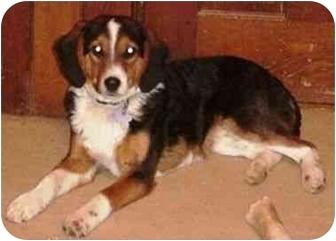 Border Collie/Beagle Mix Dog for adoption in Tiffin, Ohio - Reggie