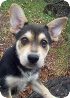 Australian Cattle Dog/Shepherd (Unknown Type) Mix Puppy for adoption in Chapel Hill, North Carolina - Radar