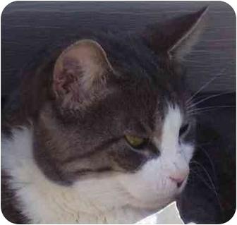 Domestic Shorthair Cat for adoption in Toronto, Ontario - Jake