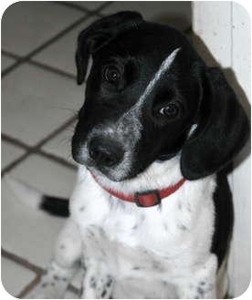 Pointer/Spaniel (Unknown Type) Mix Puppy for adoption in Phoenix, Arizona - Snoopy