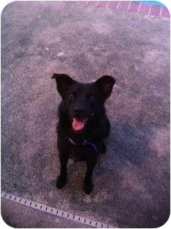 Belgian Shepherd/Labrador Retriever Mix Dog for adoption in Covington, Louisiana - Blacky
