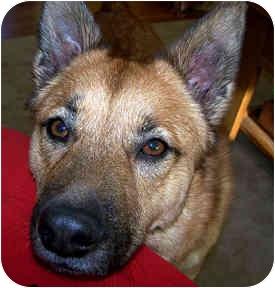 Shepherd (Unknown Type) Mix Dog for adoption in Cincinnati, Ohio - Sadie