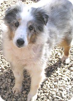 Sheltie, Shetland Sheepdog Dog for adoption in Circle Pines, Minnesota - Pooh Bear - snuggly!