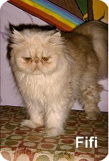 Persian Cat for adoption in Medway, Massachusetts - Fifi