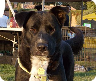 Border Collie/Shepherd (Unknown Type) Mix Dog for adoption in Fresno, California - Bandit