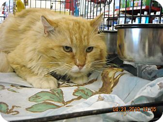Domestic Longhair Cat for adoption in Riverside, Rhode Island - Leo