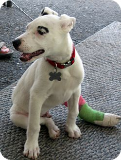 Labrador Retriever/Dalmatian Mix Puppy for adoption in Jemez Springs, New Mexico - Petey