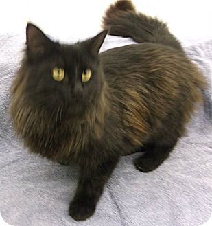 Domestic Longhair Cat for adoption in Olive Branch, Mississippi - Onyx