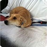 Adopt A Pet :: Boomer - Murfreesboro, TN