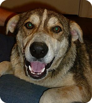 Shepherd (Unknown Type)/Husky Mix Dog for adoption in Cookeville, Tennessee - Cheyenne