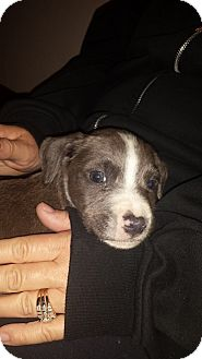 Pit Bull Terrier Mix Puppy for adoption in ST LOUIS, Missouri - Chai