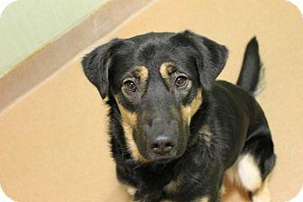 Shepherd (Unknown Type) Mix Dog for adoption in Chicago, Illinois - Karlee
