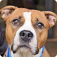 Adopt A Pet :: Piper - Reisterstown, MD