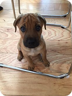 Black Mouth Cur Mix Puppy for adoption in Wellington, Florida - Peanut