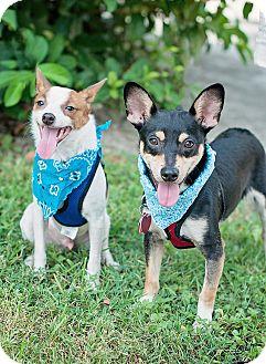Chihuahua/Terrier (Unknown Type, Small) Mix Puppy for adoption in Kingwood, Texas - Chip and Dale