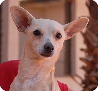 Chihuahua Mix Dog for adoption in Las Vegas, Nevada - Magnum