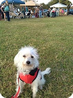 Poodle (Miniature) Mix Dog for adoption in Von Ormy, Texas - Bob Marley