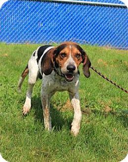 Treeing Walker Coonhound Mix Dog for adoption in Elyria, Ohio - Jack