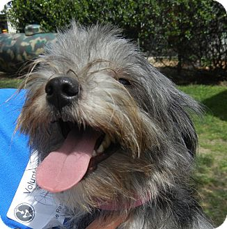Yorkie, Yorkshire Terrier Mix Dog for adoption in Houston, Texas - Lisa