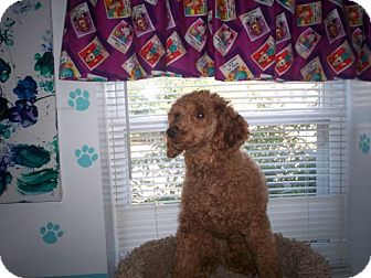 Poodle (Miniature) Mix Dog for adoption in Newburgh, Indiana - Rusty