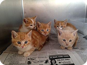 Domestic Shorthair Kitten for adoption in Thomaston, Georgia - Pumpkin Patch