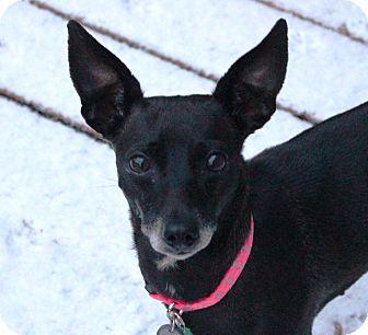 Italian Greyhound/Chihuahua Mix Dog for adoption in Lisbon, Iowa - Dixie