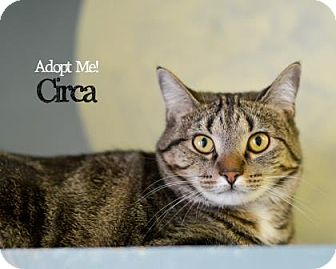 Domestic Shorthair Cat for adoption in West Des Moines, Iowa - Circa