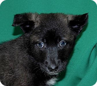 Husky/Belgian Shepherd Mix Puppy for adoption in Portola, California - Muffin