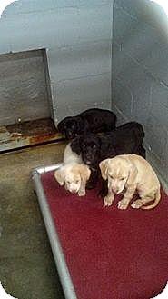 Basset Hound/Labrador Retriever Mix Puppy for adoption in Sandersville, Georgia - 146259 C