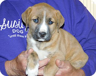 Boxer Mix Puppy for adoption in Conesus, New York - Tyson