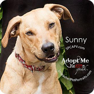Labrador Retriever Mix Dog for adoption in Victoria, British Columbia - Sunny