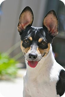 Rat Terrier Mix Dog for adoption in Coronado, California - Penny