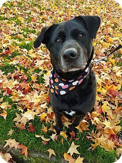 Labrador Retriever Mix Dog for adoption in Grants Pass, Oregon - Paisley
