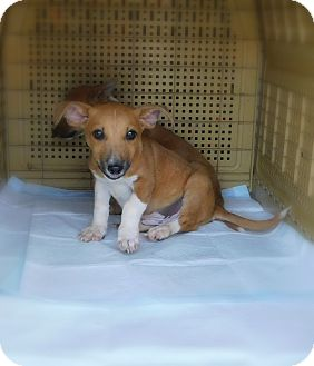 Corgi/Chihuahua Mix Puppy for adoption in Mooresville, Indiana - Scoobydoo