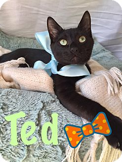 Domestic Shorthair Kitten for adoption in Tacoma, Washington - Ted & Marshall