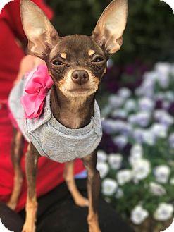 Chihuahua Dog for adoption in Atlanta, Georgia - Pixie