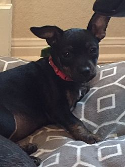 Boston Terrier/Chihuahua Mix Puppy for adoption in Nanuet, New York - Shasta