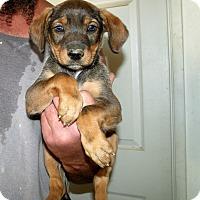 Adopt A Pet :: THE DIEGO PUPS B - Corona, CA